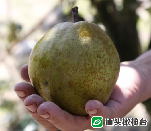 """秋高气燥,吃梨时候到!这种被称为""""植物羚羊""""的青皮梨,吃起来清甜爽口......"""