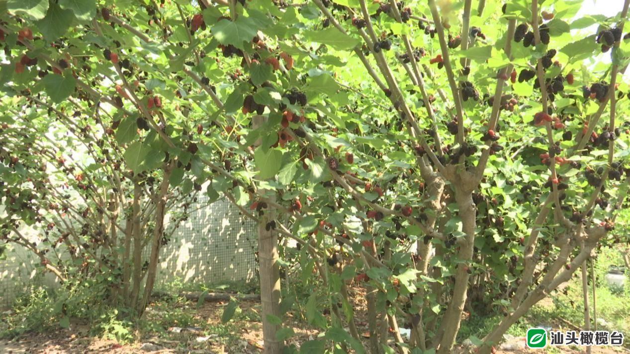 潮汕地区随处可见的这种树,全身都是宝!